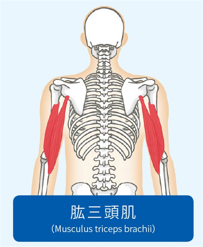 肱三頭肌位於手臂外側。(圖/方言文化提供)