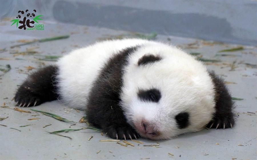 滾出床外的圓仔妹不會哭鬧 認命地在原地休息(圖/臺北市立動物園提供)