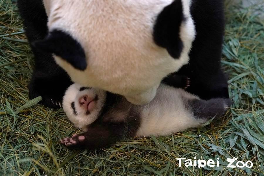 等媽媽圓圓回來就會帶牠回到竹葉床睡覺(圖/臺北市立動物園提供)