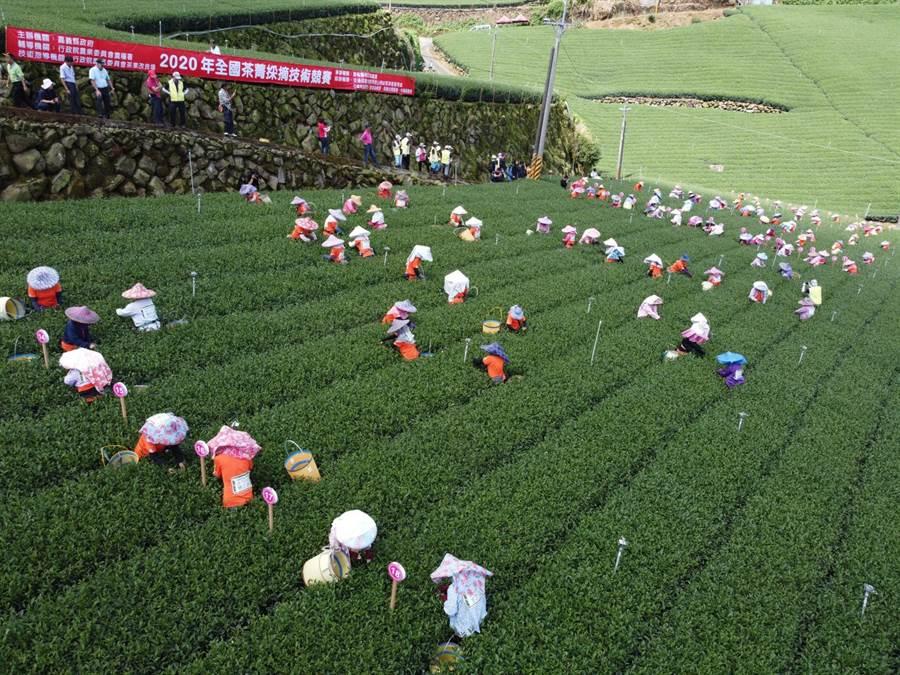 茶菁採摘競賽6個獎項 地主嘉義縣包辦4個 - 寶島