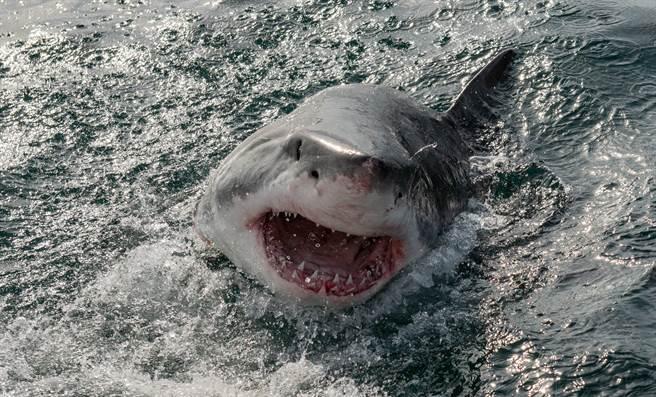 大白鯊飛躍海面4公尺 空中血口咬獵物畫面震撼(示意圖/達志影像)