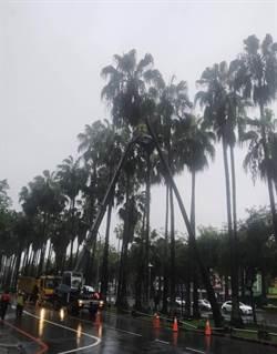 雨彈轟炸 台南東區路邊椰子樹「彎腰」工務局火速鋸斷