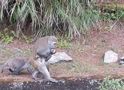 台灣獼猴遭車撞死 母猴抱兒屍同行5日令人悲催