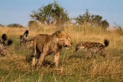 鬣狗搏鬥引來獅子湊熱鬧 脖子慘被扭斷畫面驚悚