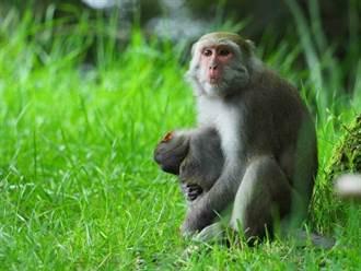 玉山塔塔加4個月大幼猴遭路殺 母猴心碎抱屍5天4夜今不見蹤影