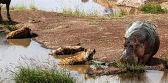 非洲野狗群圍捕羚羊竟遭鬣狗河馬亂入 混戰場面激烈