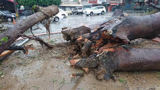 保華宮前的老榕樹倒塌。(曹婷婷攝)