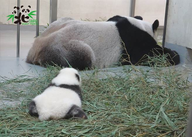 圓仔妹和媽媽一起趴睡(圖/臺北市立動物園提供)