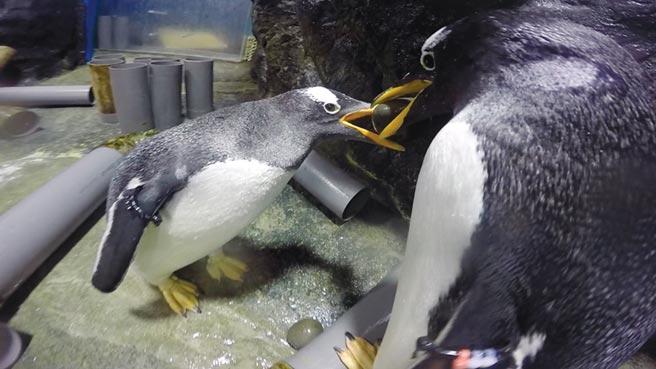 每年8月份開始進入企鵝的交配繁殖期,雄企鵝為了向雌企鵝求愛,叼小石頭向雌企鵝獻殷勤示好表心意,就像是企鵝界的「求婚鑽石」。圖/屏東海生館提供
