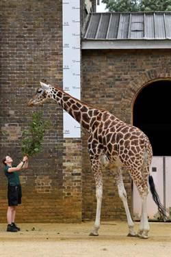 好萌!倫敦動物園可愛寶貝量體重 盼掃疫情陰霾