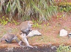 小獼猴被車撞死 母猴抱屍不離棄