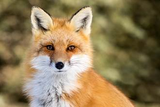 狐狸躲樹叢後見人靠近秒賣萌 翻肚狂甩尾巴討摸