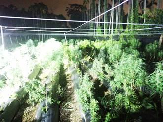 橋頭地檢署破全台最大市值4億「大麻栽植工廠」起獲1361大麻植株