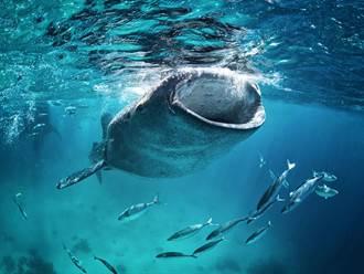 將破魚網當Buffet 鯨鯊張開「吸塵器大嘴」狂嗑小魚