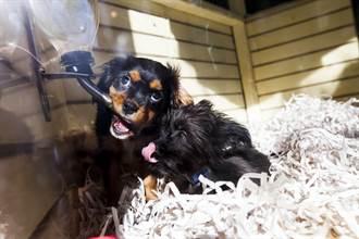 寵物店小奶狗好想被養 兩腳站立趴玻璃窗萌跳「海草舞」