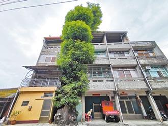 二水摘果得搭吊車 芒果樹屹立300年