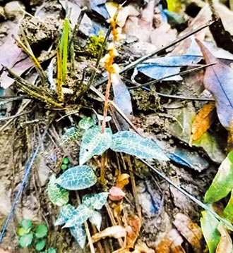 江西森林新發現 小小斑葉蘭