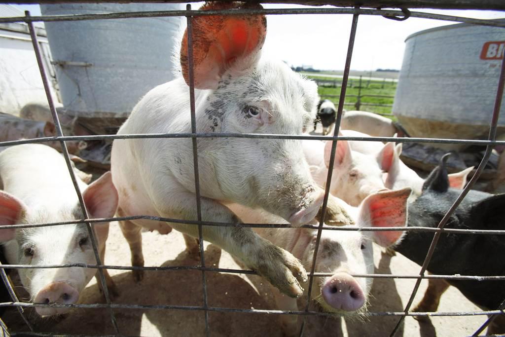 政府宣布明年開放含瘦肉精美豬進口。(圖/美聯社資料照片)