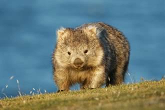 不甩飼育員好心撥沙 袋熊哼一聲堅持蓋回「泥被被」