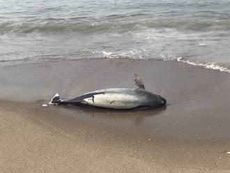 今年第15起  金門再發現保育鯨豚死亡