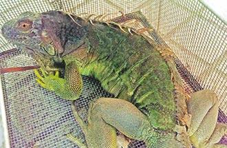 9月1日起飼養綠鬣蜥須登記 違者罰5萬
