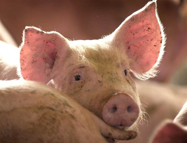 政府宣布明年開放含萊克多巴胺(俗稱瘦肉精)的美國豬肉,及30個月齡以上的美國牛肉進口。(示意圖/美聯社)