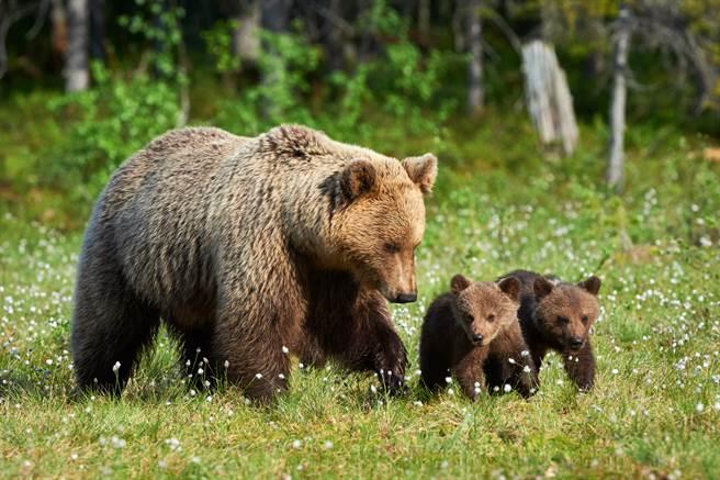 小棕熊不想回家,與媽媽站在路中間對峙(示意圖/達志影像)