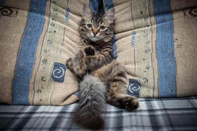 三花貓宛如大叔一樣,露出白肚坐在沙發上看電視(示意圖/達志影像)