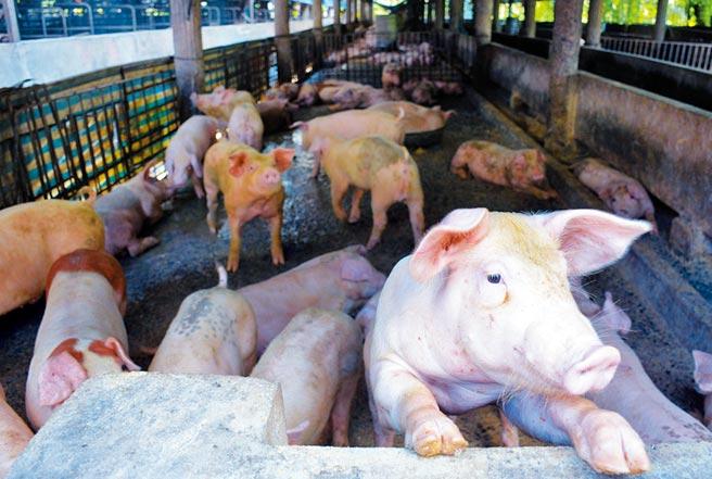 美豬將開放進口,台灣養豬相關產業備受衝擊。(林和生攝)