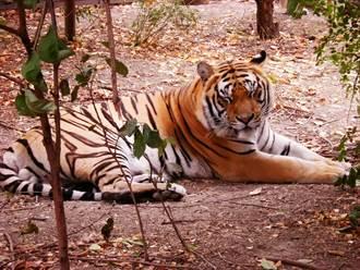 公虎躺地熟睡 突「天外飛來一手」捧抓牠蛋蛋