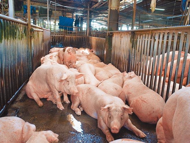 台北、台中皆以地方自治條例為由,拒絕開放瘦肉精美豬。圖為肉品市場待拍賣的毛豬。(張朝欣攝)
