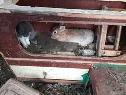 虐心!平鎮男養兔解思妻之情 鄰居卻猛抱怨