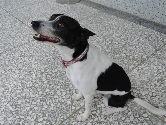 校犬「黑白」曾是一隻遭飼主遺棄校園的浪犬,經歷一番波折後,校方決定收養牠,成為好幾代大吉畢業生共同回憶。(張毓翎攝)