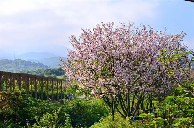 社區內著名的「三生步道」可見生活、生產及生態樣貌,每逢春季櫻花綻開時更吸引大批遊客慕名而來。(農業局提供/戴上容新北傳真)