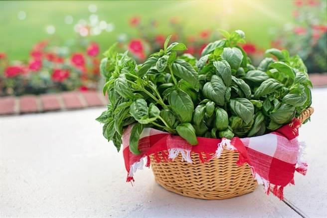 甜羅勒的英文「basil」源於希臘文「basileus」,是「帝王」之意,相傳它是皇室御用藥品及沐浴品的主要配方,因此被稱為「香草之王」。(圖/pixabay)
