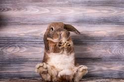 小灰兔仰肚剪指甲太害怕 2腿開馬達狂抖萌翻