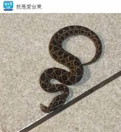 超漂亮母蛇闖台東男家中 網一見大驚:咬到就阿彌陀佛
