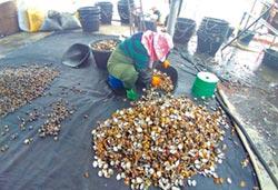 環境惡化 台西文蛤僅收5成以下