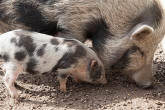 【新聞多益】美豬牛來台!「開放禁令」的英文怎麼說?