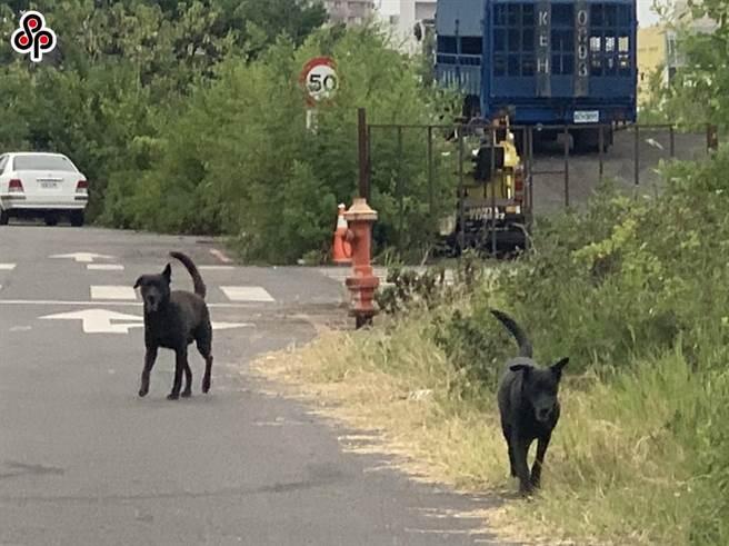 農委會表示,TNVR為現階段控制外部犬隻族群數量的短期技術性作法,但是犬隻回置在外還是會衍生人犬衝突問題,不會因修法而改善,管理人的行為才是核心。(本報系資料照)