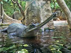 巨鱷慘遭上百根樹枝活埋?細看才驚覺藏玄機