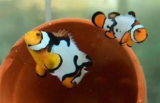 開發小丑魚新品系 花紋越亂越值錢