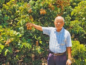 88歲羅銀和 烘龍眼達人