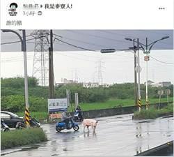 走失大公豬逛大街 網友尋失主嘲「無瘦肉精的豬」