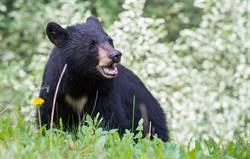 又出現色熊 黑熊遇慢跑熱褲妹  緩緩接近伸掌摸腿