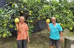 街友幫助老柚農管理文旦園 收成更甜、量更多