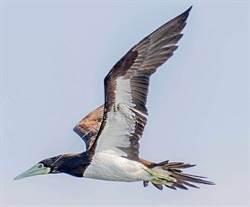 生態隱憂!白腹鰹鳥喙遭勾傷 釣魚線纏翅