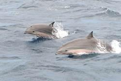 花蓮上百隻海豚大暴走 業主揭密:5%機率能撞見