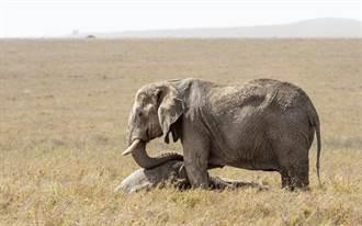 大象寶寶遭路殺 母象心碎搖晃小象屍體不忍離去