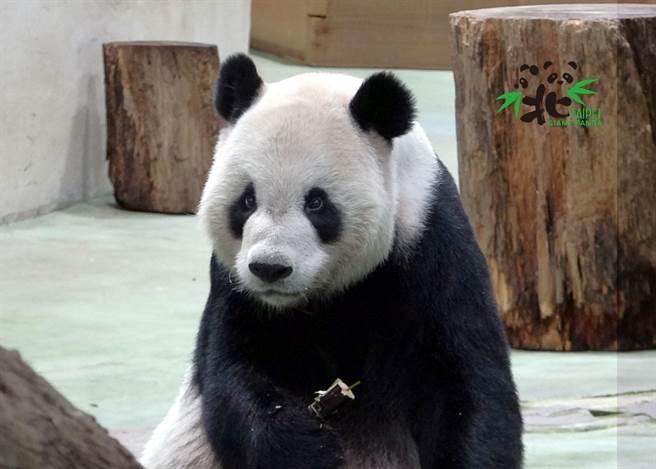 動物園近日發布的二寶日記提到,大熊貓曾經是蚩尤的座騎「貔貅」,圖為團團。(圖/臺北市立動物園提供)
